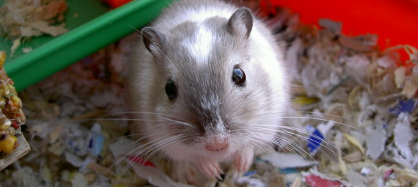 can gerbils and mice interbreed